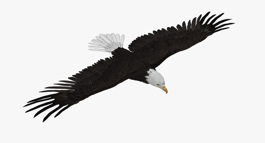 Bald Eagle Rigged royalty-free 3d model - Preview no. 2