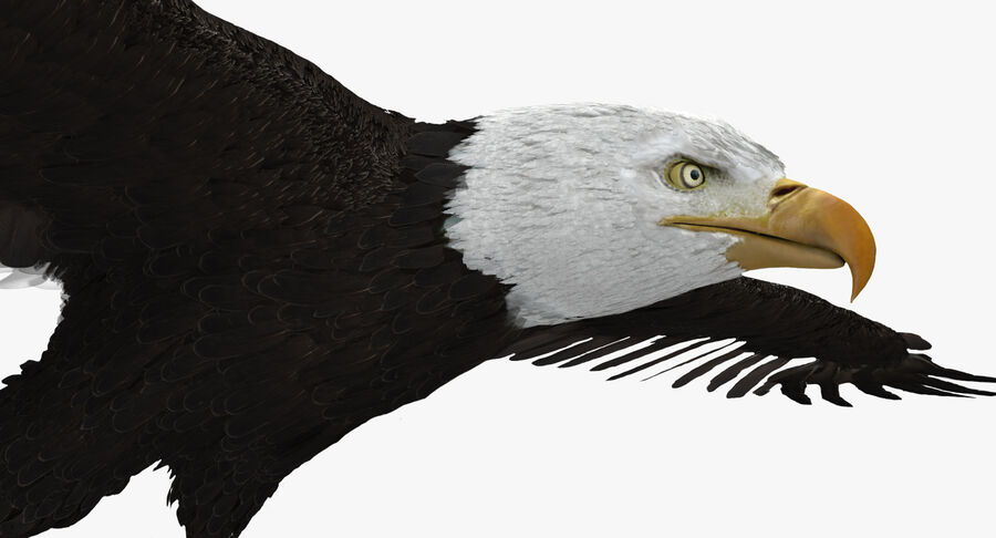 Bald Eagle Rigged royalty-free 3d model - Preview no. 14