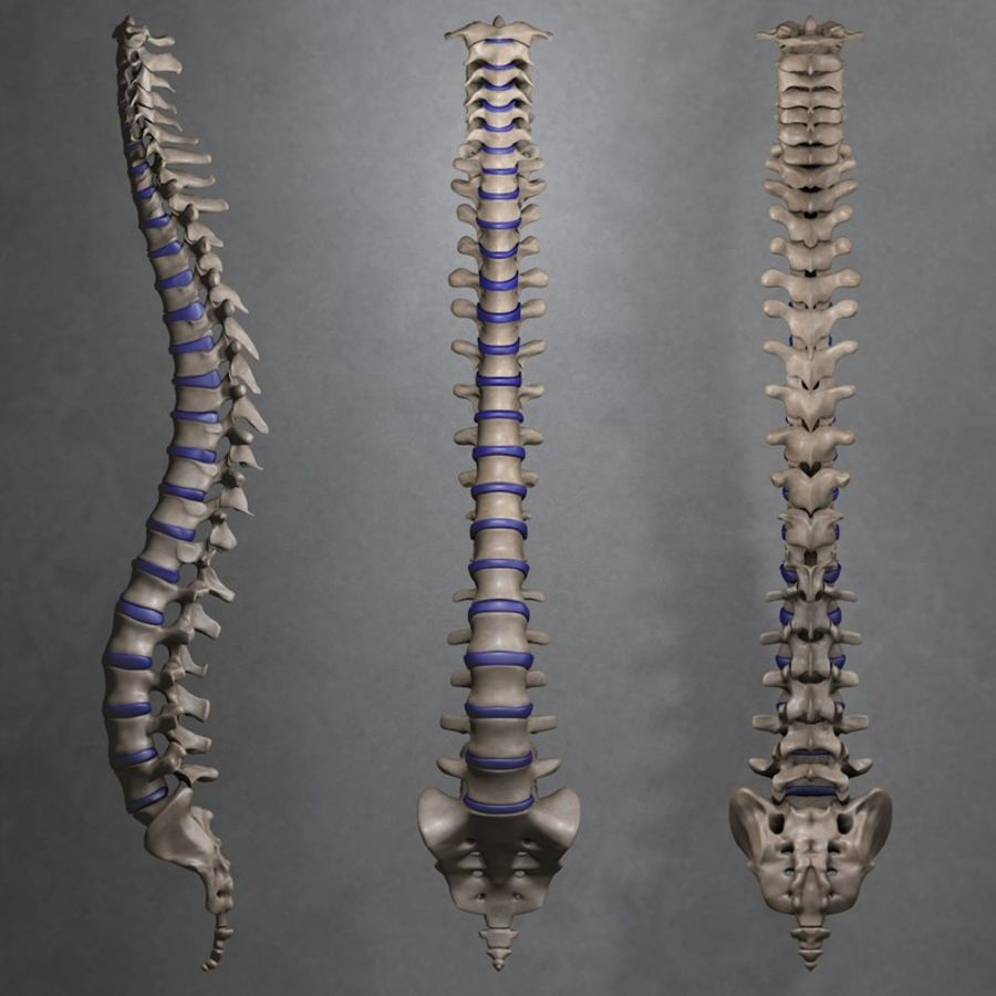 Médula espinal royalty-free modelo 3d - Preview no. 1