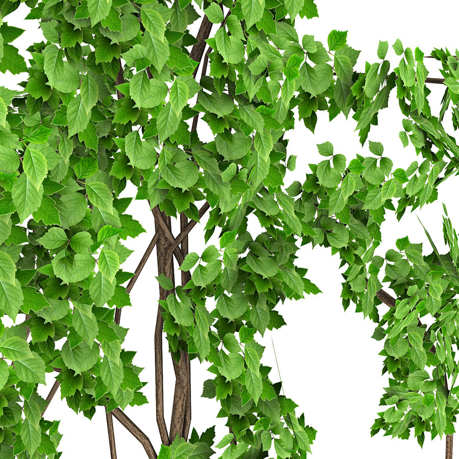 Ivy Vine 1 royalty-free 3d model - Preview no. 2