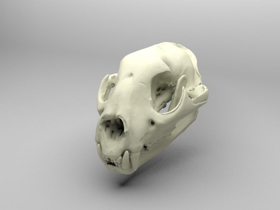 Mountain Lion Skull royalty-free 3d model - Preview no. 3