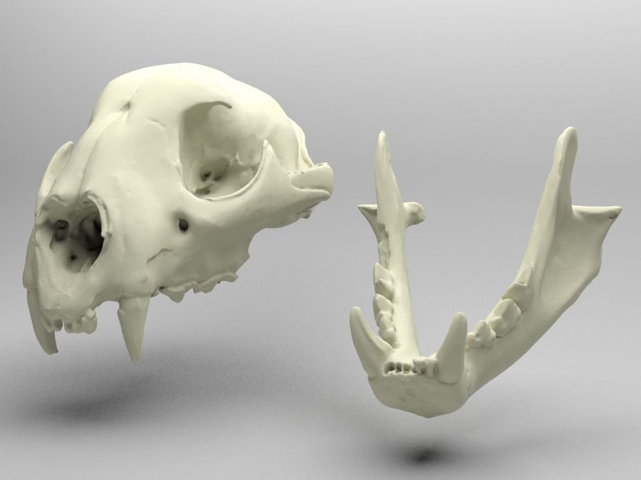 Mountain Lion Skull royalty-free 3d model - Preview no. 6