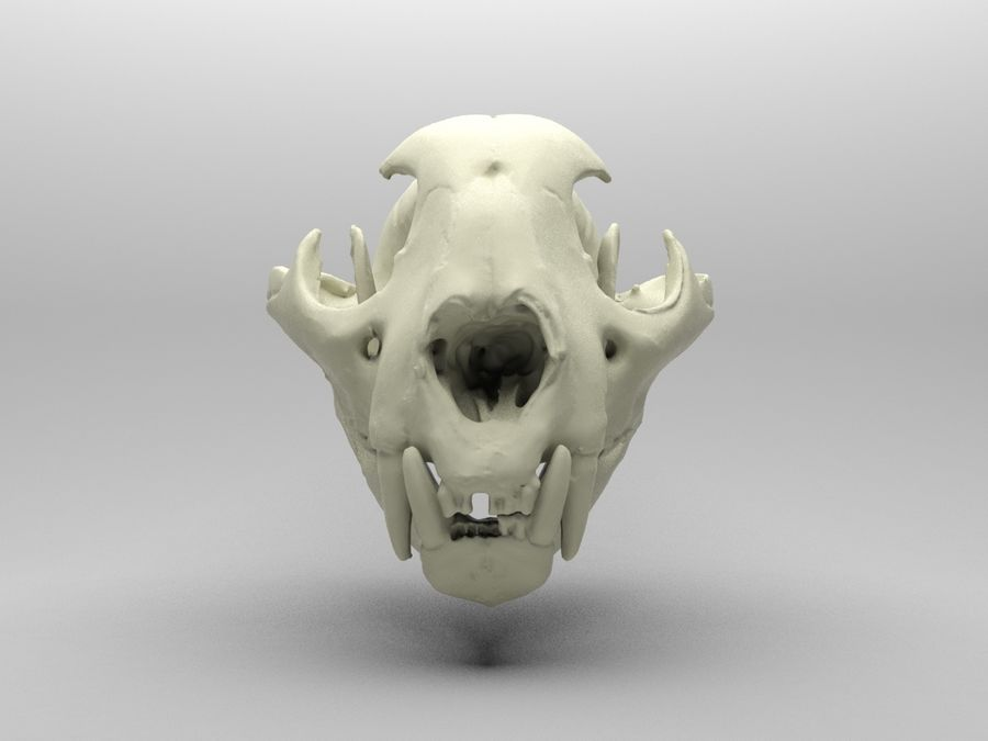 Mountain Lion Skull royalty-free 3d model - Preview no. 4