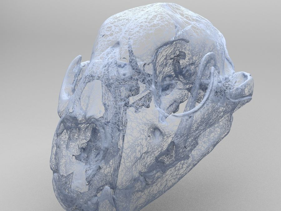 Mountain Lion Skull royalty-free 3d model - Preview no. 5