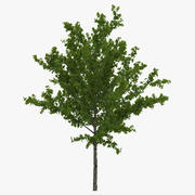 Young Tree Red Maple Summer 3d model