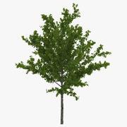 Молодое дерево Красный клен Лето 3d model
