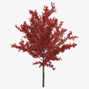 Young Tree Red Maple Autumn 3d model