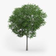 Austrian Oak Tree 6.6m 3d model