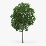 Japon Akça Ağaç 3d model