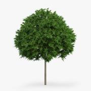 일본 단풍 나무 4.4m 3d model