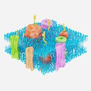 Membrane cellulaire 3d model