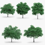 5 English Oak Trees 3d model