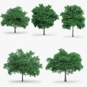 5 English Oak Trees 3d model