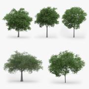 5 Austrian Oak Trees 3d model