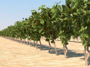 Vineyard Grapevine pack of four 3d model