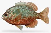 Lepomis megalotis Longear Sunfish modelo 3d