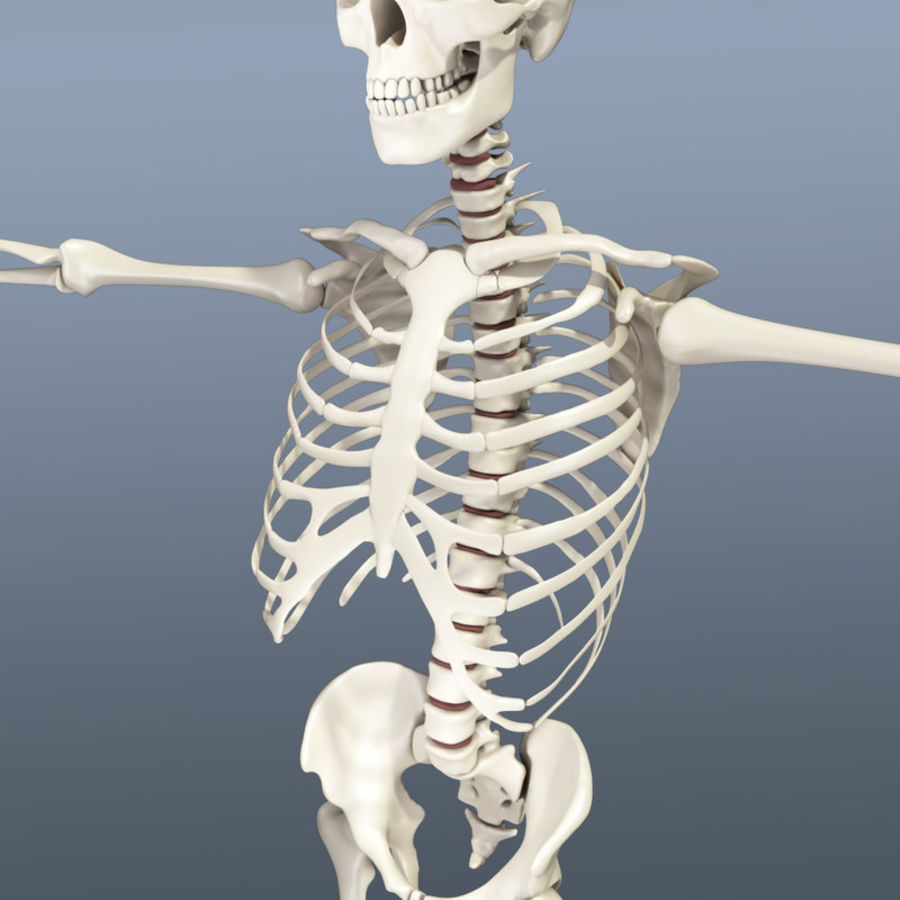 Human Skeleton royalty-free 3d model - Preview no. 5