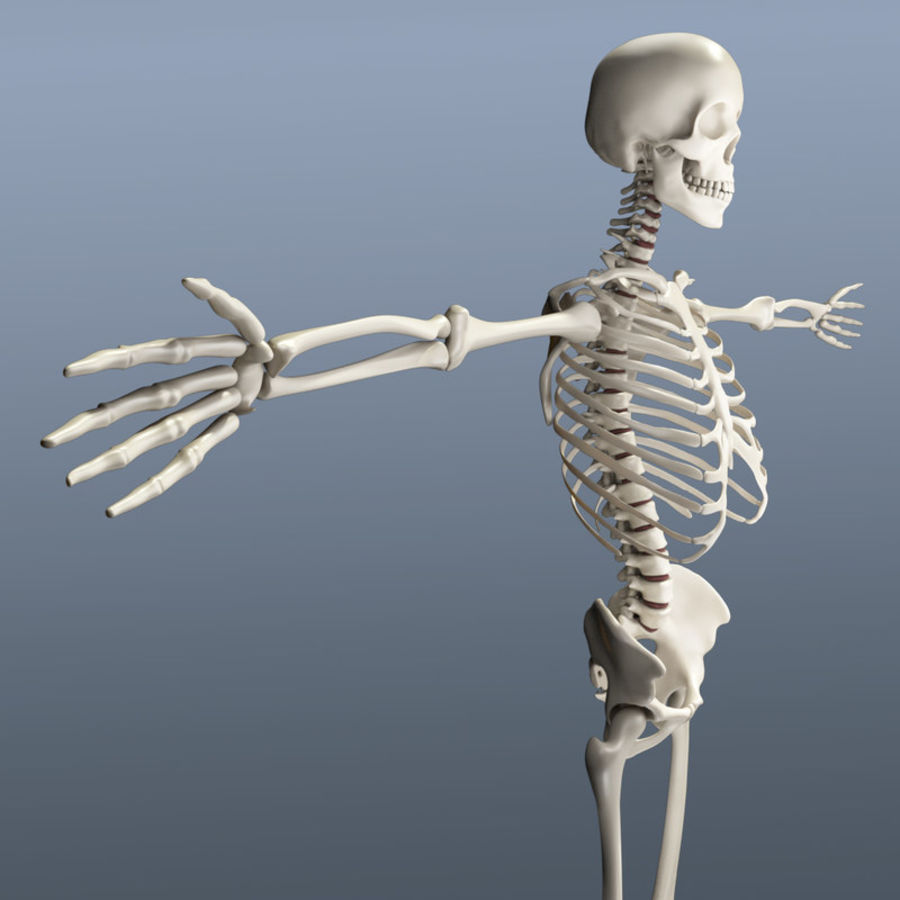 Human Skeleton royalty-free 3d model - Preview no. 6