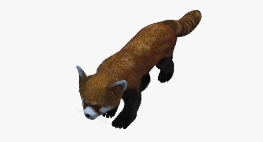 Red Panda (Lesser Panda) Fur royalty-free 3d model - Preview no. 2