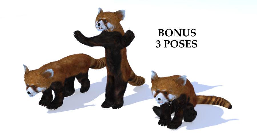 Red Panda (Lesser Panda) Fur royalty-free 3d model - Preview no. 9
