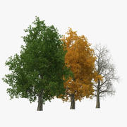 Yellow Poplar Old Tree Set 3d model