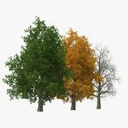 Alter Baum-Satz der gelben Pappel 3d model
