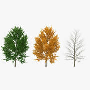 Yellow Poplar Tree 3D Models Collection 3d model