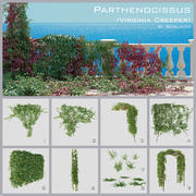 Parthenocissus (Virginia Creeper) 3d model