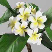 植物鸡蛋花 3d model