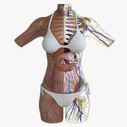 アフリカ系アメリカ人の女性の胴体の解剖学 3d model