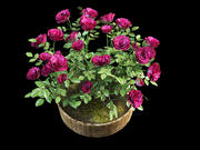 rose bush in pot 3d model