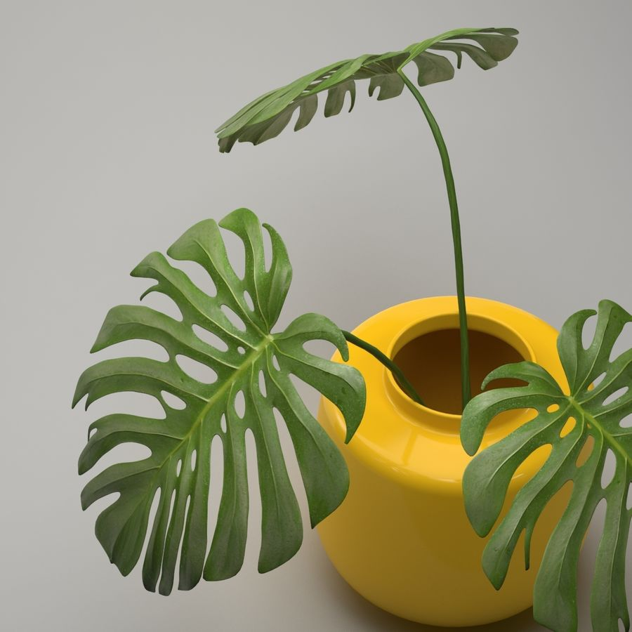 Monstera Plant royalty-free 3d model - Preview no. 6