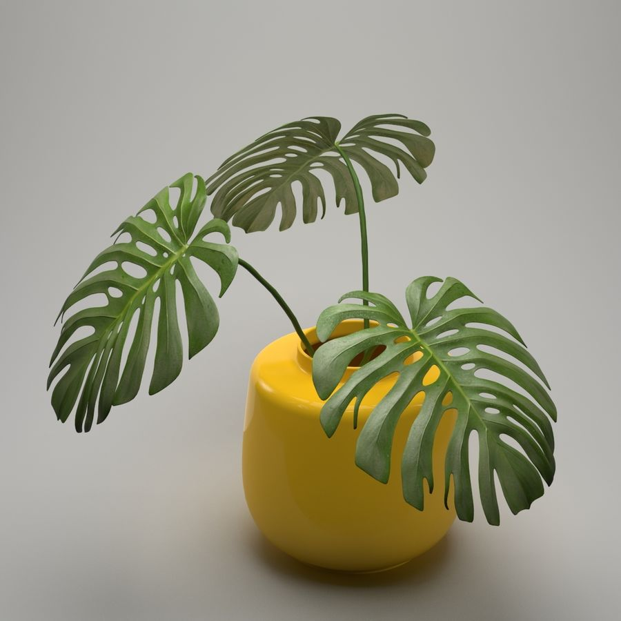 Monstera Plant royalty-free 3d model - Preview no. 3