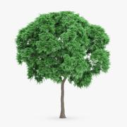 Japanese Chestnut Tree 10.7m 3d model