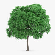 Japon Kestane Ağacı 8.1m 3d model