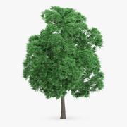 Japanese Chestnut Tree 12.4m 3d model