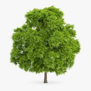 American Chestnut Tree 9.7m 3d model
