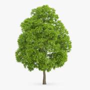 Amerikansk kastanjeträd 15,5m 3d model
