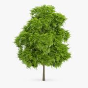 American Chestnut Tree 5.6m 3d model