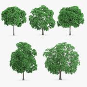 5 Japon Kestane Ağacı 3d model