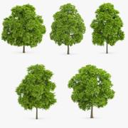 5 American Chestnut Trees 3d model