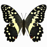 Citrus Swallowtail Butterfly 3d model