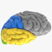 Nervösa cerebrumfärgade avsnitt 3d model