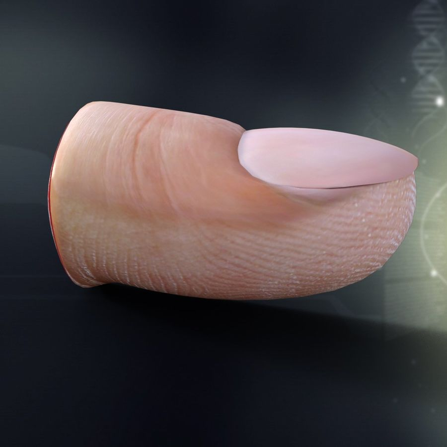 Finger Anatomy royalty-free 3d model - Preview no. 3