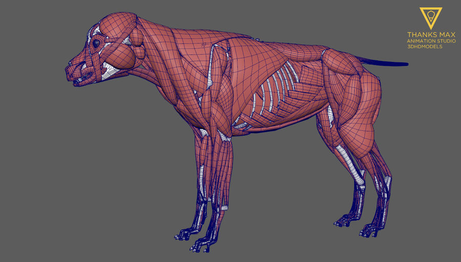 Chien Anatomie Canine royalty-free 3d model - Preview no. 38