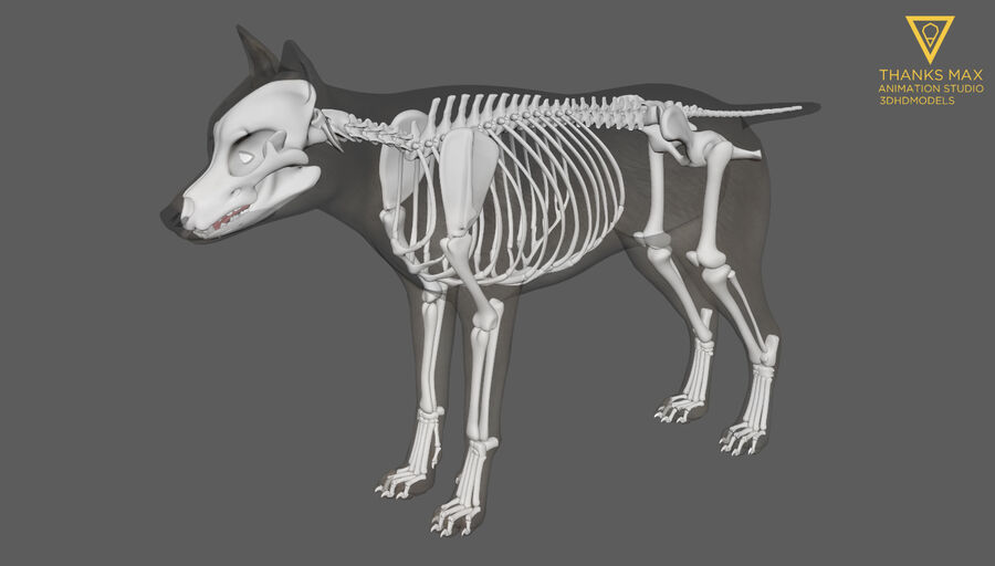 Chien Anatomie Canine royalty-free 3d model - Preview no. 37
