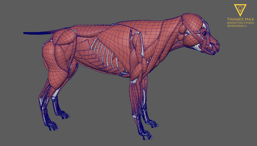 Chien Anatomie Canine royalty-free 3d model - Preview no. 46