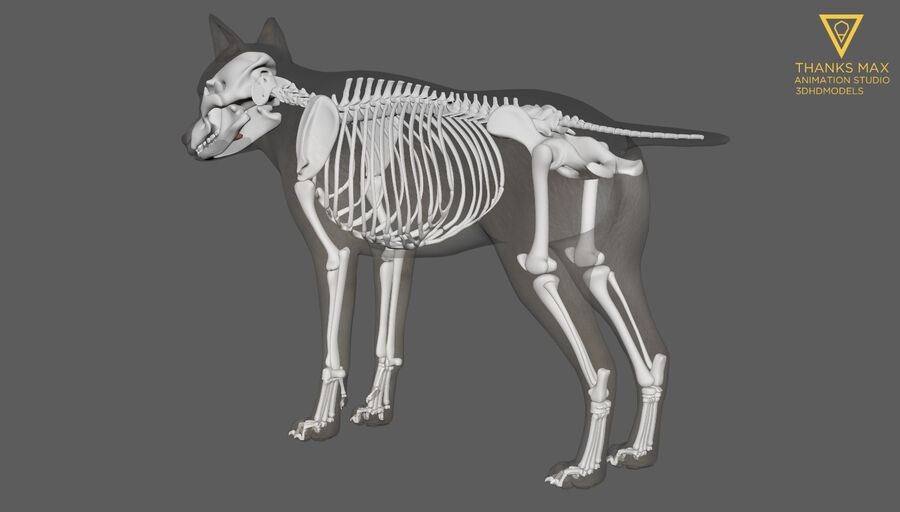 Chien Anatomie Canine royalty-free 3d model - Preview no. 13