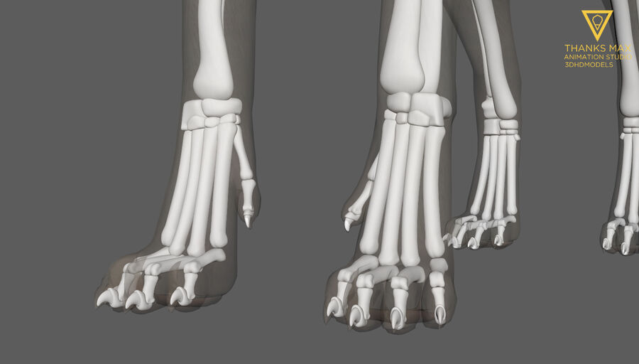 Chien Anatomie Canine royalty-free 3d model - Preview no. 17