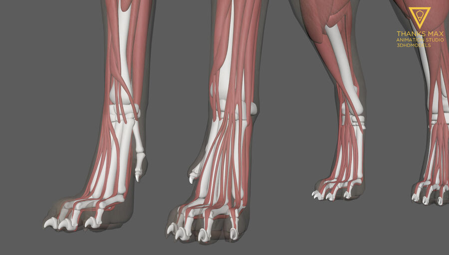 Chien Anatomie Canine royalty-free 3d model - Preview no. 7